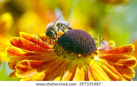 honey bee is collecting nectar from a beautiful flower in the garden    - stock photo