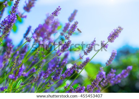 Honey bee on blooming Lavender bush in a shallow depth of field backlight is soft sunlight filled. Traditional European Mediterranean Agriculture. Blurred summer - stock photo