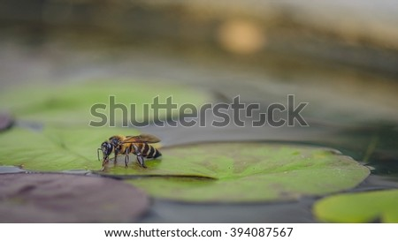 Honey Bee on Lotus leaf, Close Up Macro - stock photo