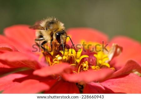 honey bee on the zinnia flower close up - stock photo