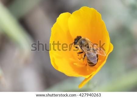 Honey bee pollinating on yellow poppy flower. - stock photo