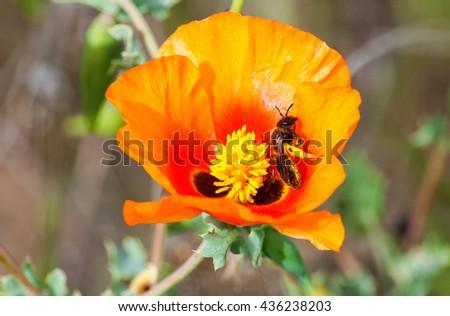 Honey bee pollinating on yellow poppy flower close-up. - stock photo