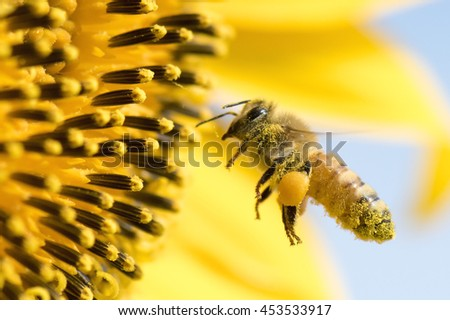 Honey Bee pollinating sunflower. - stock photo