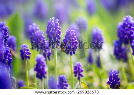 Honey bee pollinating the spring flower - stock photo
