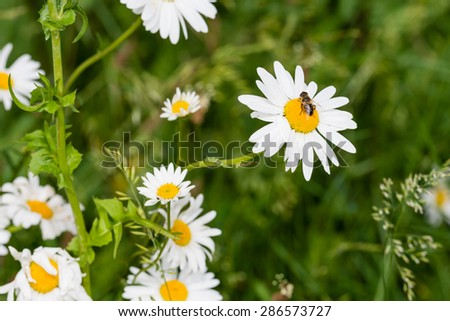 Honey bee sucks nectar from a yellow hearted white oxeye daisy blooming in its natural habitat on a sunny day in spring. - stock photo