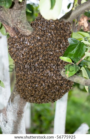 Honey Bee Swarm - stock photo