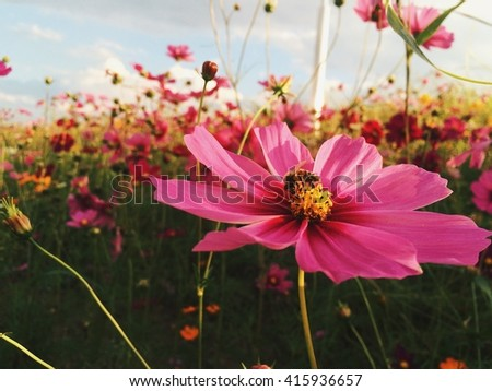 Honey bee with Pink cosmos flower - stock photo