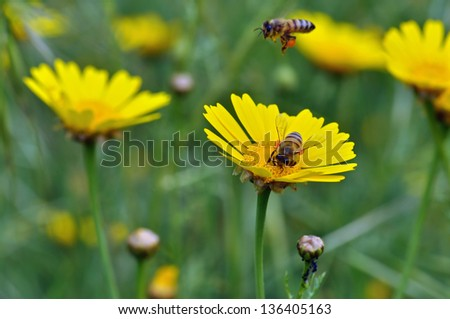 Honey bees collecting pollen in a field of blooming flowers. Springtime background. - stock photo