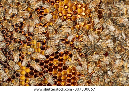 Honey bees on honeycomb with pollen - stock photo
