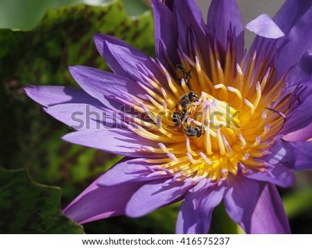 honey bees sucking nectar from purple lotus - stock photo