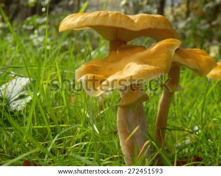 Honey Fungus (Armillaria mellea) showing the stem, collar and gills - stock photo