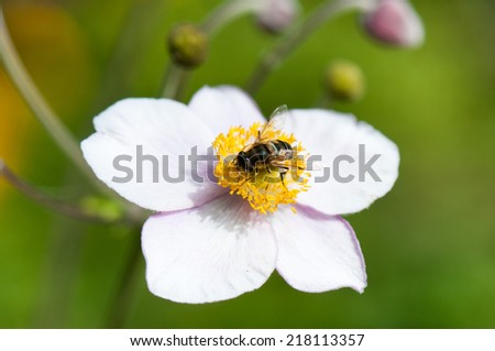 honeybee collecting nectar on a anemone flower - stock photo