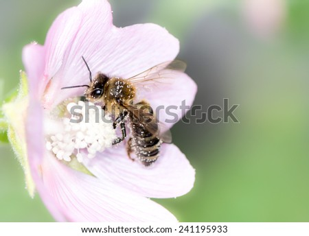 Honeybee collecting pollen at a pink flower blossom - stock photo