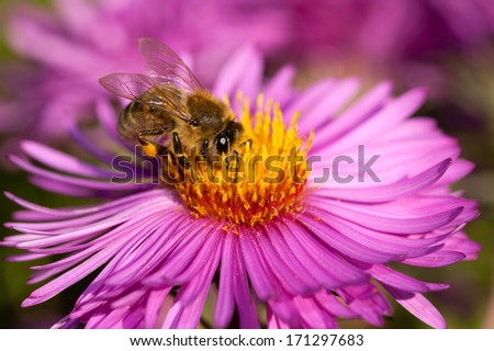 Honeybee collecting pollen from an Aster flower. - stock photo