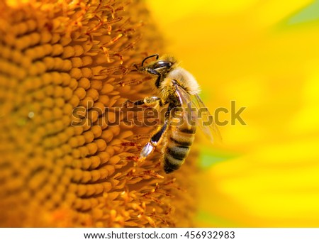 Honeybee collecting pollen on sunflower. - stock photo