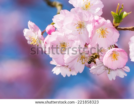 Honeybee flying at a pink flowering cherry tree - stock photo