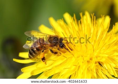 Honeybee going through a yellow dandelion flower covered in pollen - stock photo