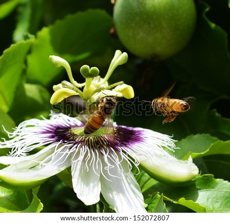 honeybee in springtime  - stock photo