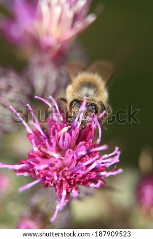 honeybee on a thistles blossom - stock photo