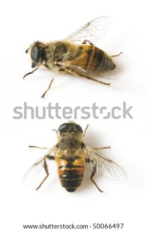 honeybee on a white background - stock photo