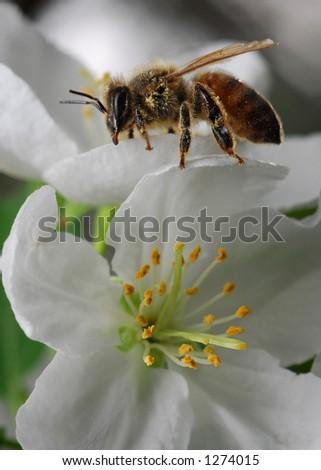 Honeybee on Flower - stock photo