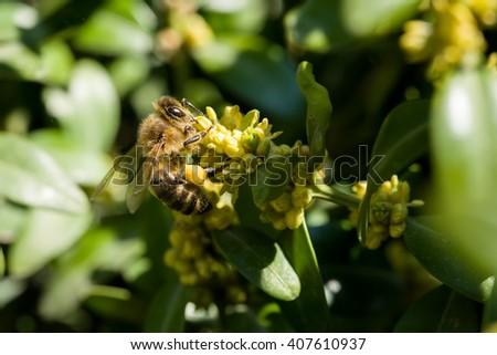 Honeybee on yellow flowers closeup in spring garden, macro close up shoot - stock photo