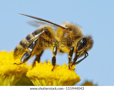 honeybee pollinated of yellow flower - stock photo