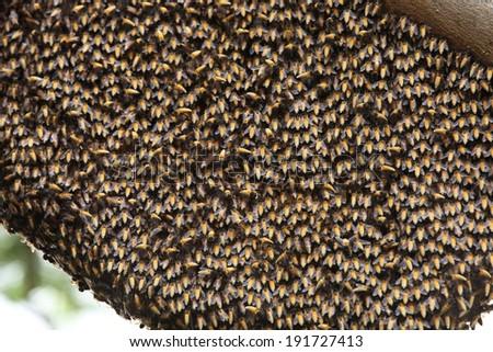 Honeybee swarm on the tree.  - stock photo