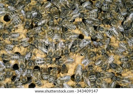 honeybees; bee; Apis; mellifera - stock photo