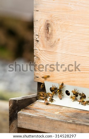 Honeybees, busy gathering pollen and nectar, return to hive. Entrance is restricted in fall with mouse guard to protect beehive from invasion. - stock photo
