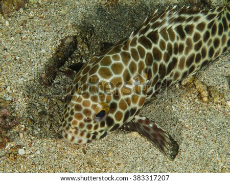 Honeycomb Grouper - stock photo