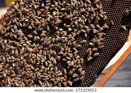 Honeycomb with bees and honey. Working bee on honeycomb. Work bees in hive. Beekeeper checking a beehive. - stock photo