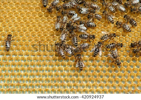 Honeycombs with bees - stock photo