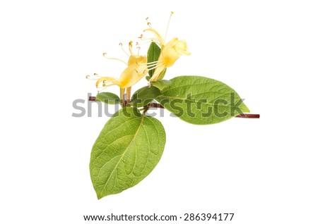 Honeysuckle, Lonicera, flower and leaves isolated against white - stock photo