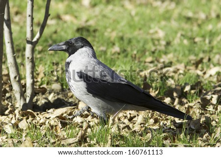 Hooded Crow walking on the grass (Corvus corone cornix) - stock photo