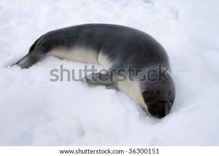 Hooded seal pup (Cystophora cristata) in the Canadian Arctic - stock photo