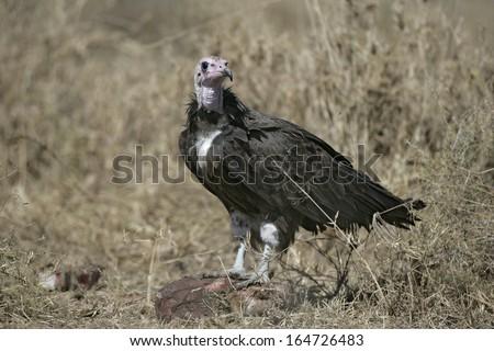 Hooded vulture,  Necrosyrtes monachus, single bird on floor, Tanzania - stock photo