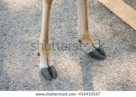 Hoof of Chital, spotted deer  - stock photo