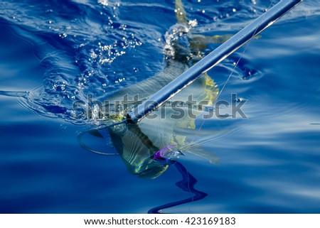 Hooked Mahi Mahi fish  - stock photo