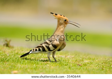 hoopoe on a grass - stock photo