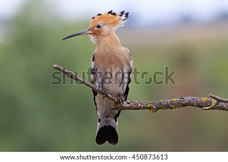 hoopoe sitting on a dry branch - stock photo