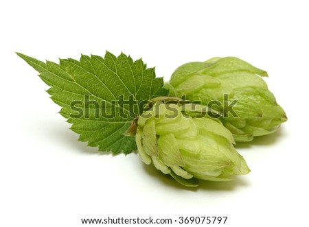 Hop cone isolated on white background - stock photo