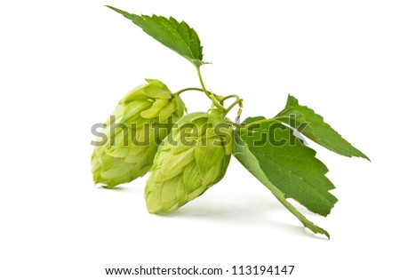 hop isolated on white background - stock photo