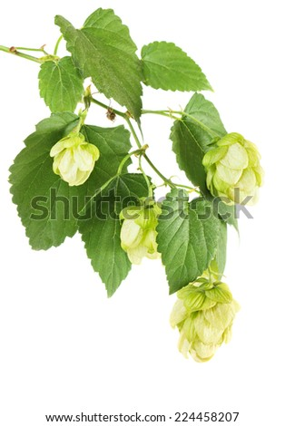 Hop plant branch isolated on white background - stock photo
