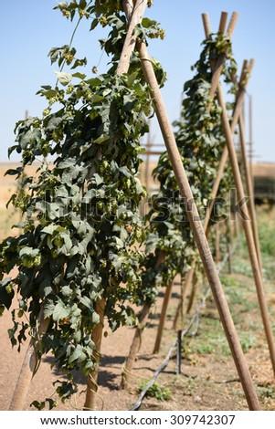 Hop Vines - stock photo