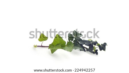 Horizontal banner with Green ivy branch isolated on white background - stock photo