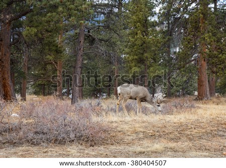 horizontal color image with a single white tail deer in the foreground, eating grass in winter, in Rocky Mountain National Park / White Tail Grazing in Winter in Rocky Mountain National Park - stock photo