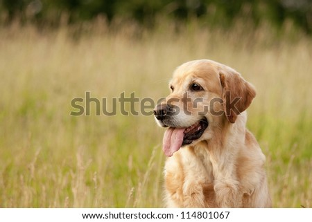 Horizontal golden retriever portrait outdoors. - stock photo