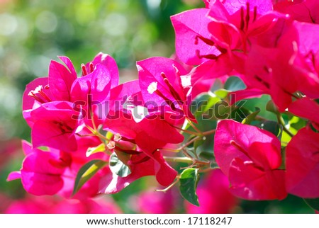 Horizontal image of bright pink/red Bougainvillea bracts flowing to the left of the image.  Very shallow depth of field with focus on central white flowers inside of the lower left  bract. - stock photo