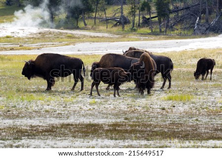 Horizontal image of young North American Buffalo showing affection towards her mother buffalo with herd and hot springs in background within Yellowstone Park  - stock photo